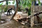 Rescata Zoológico de Culiacán a dos monos araña víctima de tráfico de animales