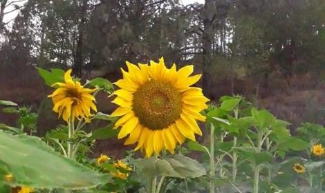 Nuevo atractivo turístico para Surutato; Abren campo de girasoles